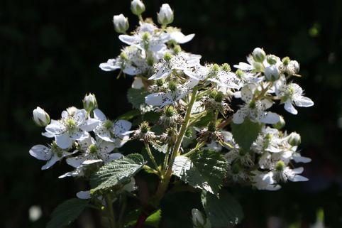 Brombeere 'Wilsons Frühe' - Rubus fruticosus 'Wilsons Frühe'