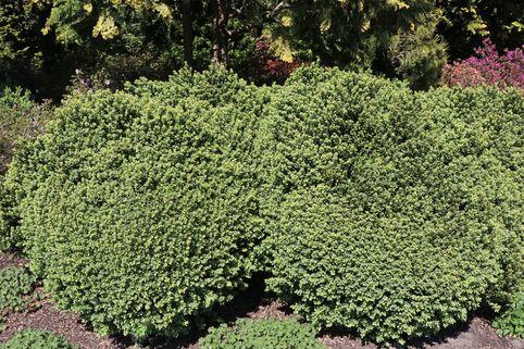 Buchsbaum 'Blauer Heinz' - Buxus sempervirens 'Blauer Heinz'
