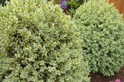 Buchsbaum 'Elegantissima' - Buxus sempervirens 'Elegantissima'