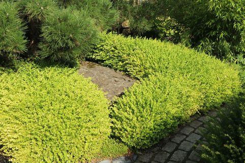 Buchsbaum 'Latifolia Maculata' - Buxus sempervirens 'Latifolia Maculata'