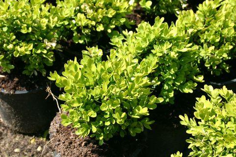 Buchsbaum 'Suffruticosa' - Buxus sempervirens 'Suffruticosa'