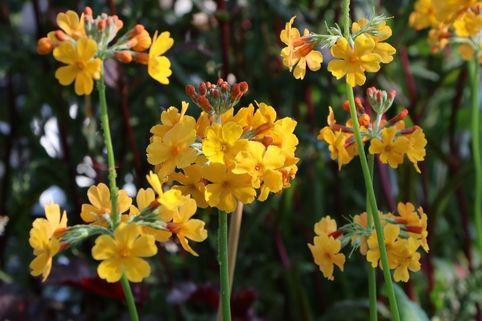 Bulleys Etagen-Schlüsselblume - Primula bulleyana