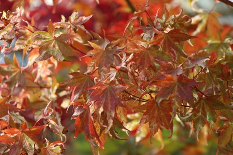 Buntblättriger Fächer-Ahorn 'Oridono nishiki' - Acer palmatum 'Oridono nishiki'