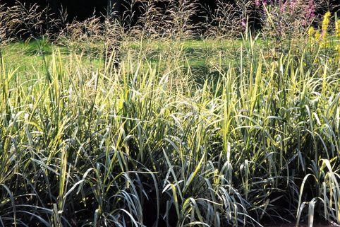 Buntblättriges Süßgras 'Variegata' - Glyceria maxima 'Variegata'
