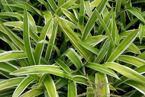 Bunte Breitblatt Segge 'Variegata' - Carex siderosticha 'Variegata'
