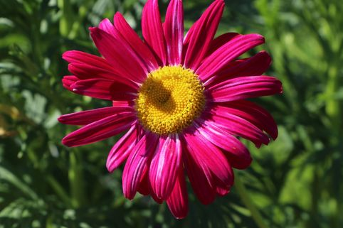 Bunte Margerite 'Robinsons Rot' - Tanacetum coccineum 'Robinsons Rot'