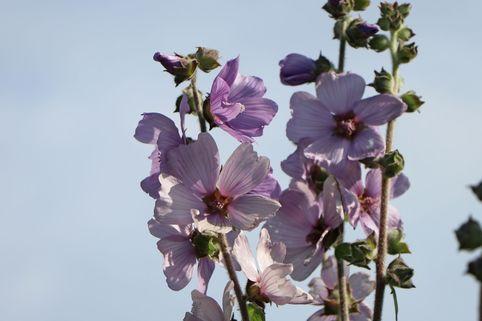 Busch-Malve 'Lilac Lady' - Lavatera x olbia 'Lilac Lady'