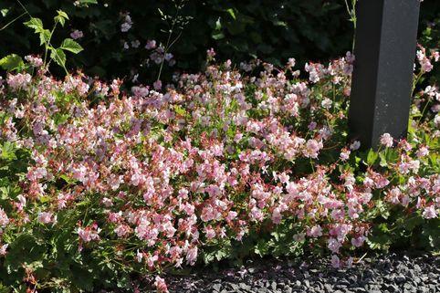 Cambridge Storchschnabel 'Biokovo' - Geranium x cantabrigiense 'Biokovo'