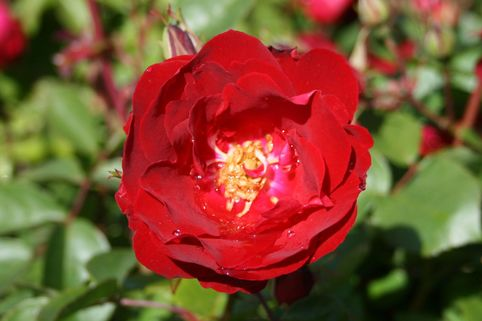 Canadian Explorer Rose 'Champlain' - Rosa 'Champlain'