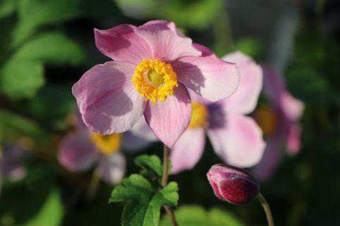 China-Herbst-Anemone 'Praecox' - Anemone hupehensis 'Praecox'