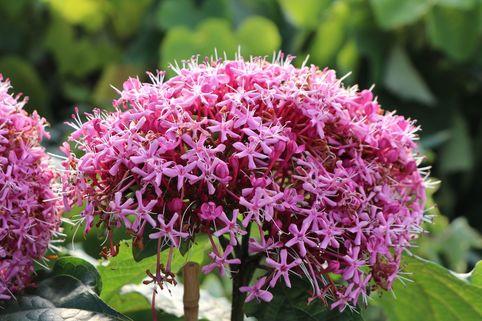 China Losbaum - Clerodendrum bungei