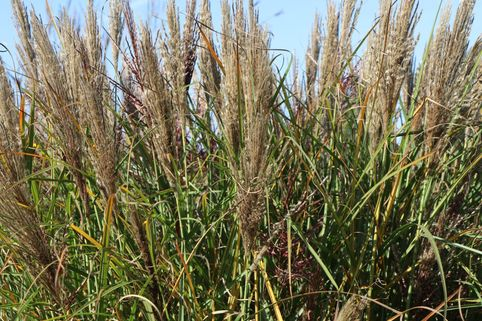Chinaschilf 'Dread Locks' - Miscanthus sinensis 'Dread Locks'
