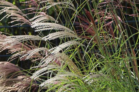 Chinaschilf 'Flamingo' - Miscanthus sinensis 'Flamingo'