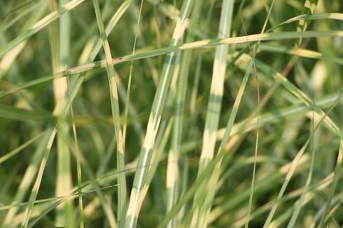 Chinaschilf 'Little Zebra' ® - Miscanthus sinensis 'Little Zebra' ®