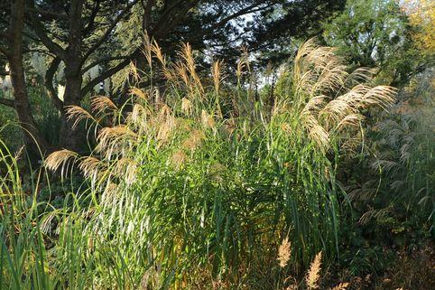 Chinaschilf 'Silberfeder' - Miscanthus sinensis 'Silberfeder'