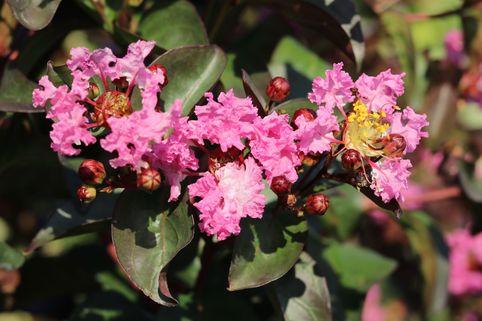 Chinesische Kräuselmyrte 'Rhapsody in Pink' - Lagerstroemia indica 'Rhapsody in Pink'