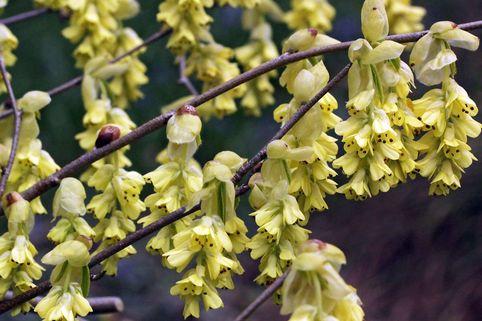 Chinesische Scheinhasel 'Spring Purple' - Corylopsis sinensis 'Spring Purple'