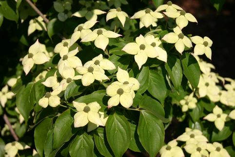 Chinesischer Blumen-Hartriegel 'Barmstedt' - Cornus kousa chinensis 'Barmstedt'