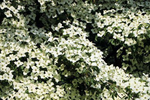 Chinesischer Blumen-Hartriegel 'Claudia' - Cornus kousa var. chinensis 'Claudia'