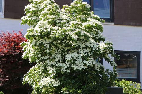 Chinesischer Blumen-Hartriegel - Cornus kousa var. chinensis
