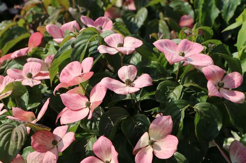 Chinesischer Blumen-Hartriegel 'Rosy Teacups' ® - Cornus kousa 'Rosy Teacups' ®