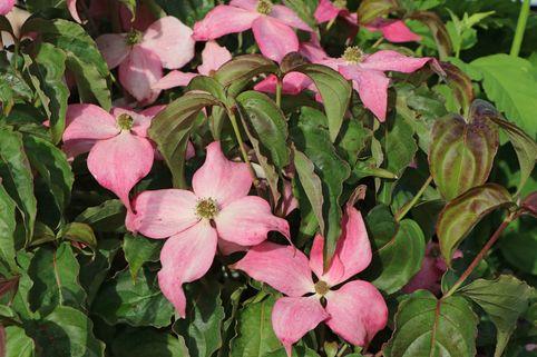 Chinesischer Blumen-Hartriegel 'Scarlet Fire' ® - Cornus kousa 'Scarlet Fire' ®