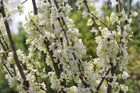 Chinesischer Judasbaum 'Shirobana' - Cercis chinensis 'Shirobana'