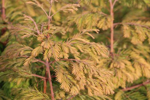 Chinesisches Rotholz 'Matthaei Broom' - Metasequoia glyptostroboides 'Matthaei Broom'