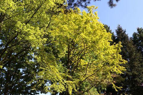 Chinesisches Rotholz / Urwelt-Mammutbaum 'Gold Rush' - Metasequoia glyptostroboides 'Gold Rush'