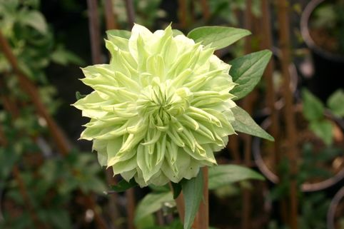 Clematis 'Alba Plena' - Clematis florida 'Alba Plena'