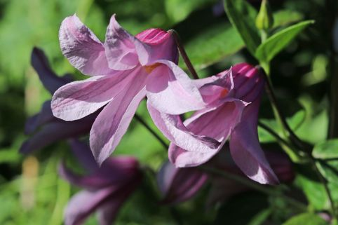 Clematis 'Amelia' - Clematis integrifolia 'Amelia'