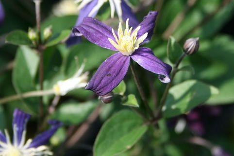 Clematis 'Aromatica' - Clematis integrifolia 'Aromatica'
