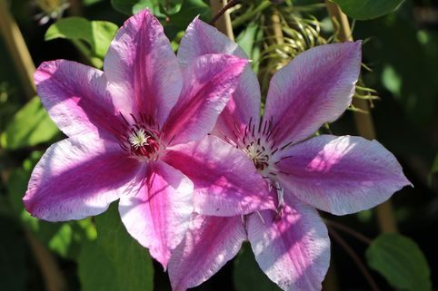 Clematis 'Carnaby' - Clematis 'Carnaby'