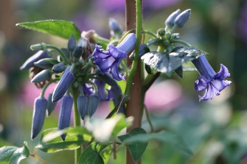 Clematis 'Cote d'Azur' - Clematis heracleifolia 'Cote d'Azur'