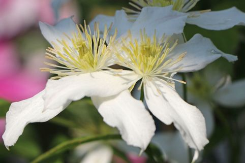 Clematis 'Dr. Penelope' ® - Clematis montana 'Dr. Penelope' ®