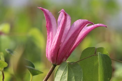 Clematis 'Duchess of Albany' - Clematis texensis 'Duchess of Albany'