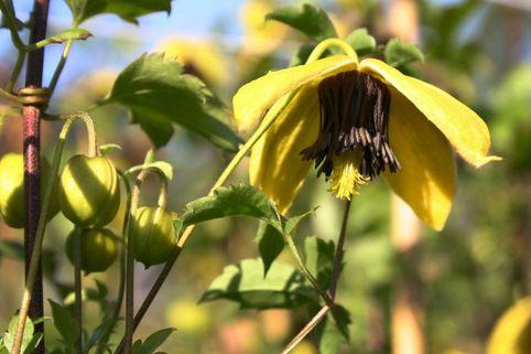 Clematis 'Golden Harvest' - Clematis tangutica 'Golden Harvest'