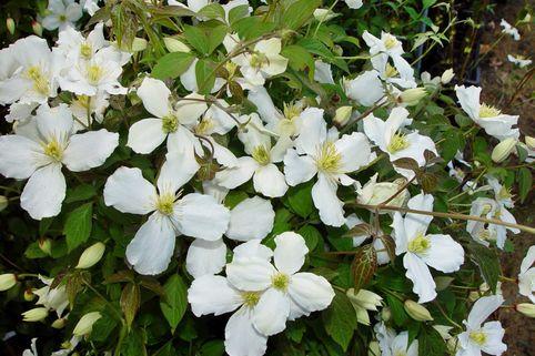 Clematis 'Grandiflora' - Clematis montana 'Grandiflora'