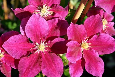 Clematis 'Hania' - Clematis 'Hania'