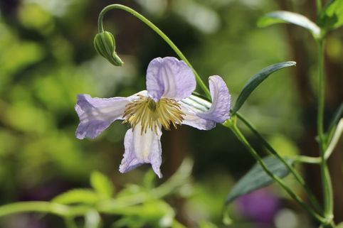 Clematis 'Hanna' - Clematis viticella 'Hanna'