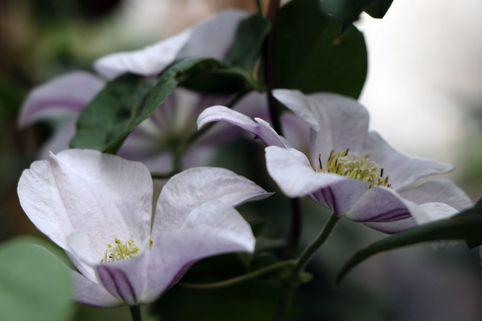 Clematis 'Huldine' - Clematis viticella 'Huldine'