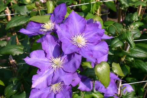 Clematis 'Lady Betty Balfour' - Clematis 'Lady Betty Balfour'