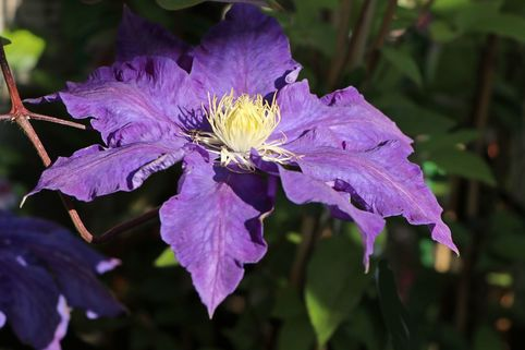 Clematis 'Lady Northcliff' - Clematis 'Lady Northcliffe'