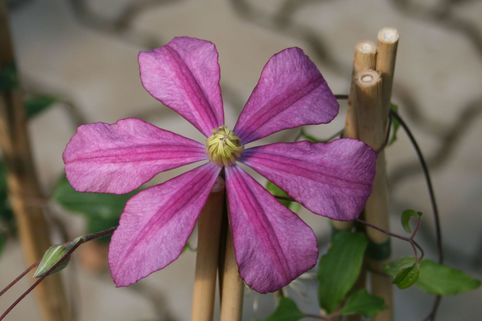 Clematis 'Liberation' Evifive (N) - Clematis 'Liberation' Evifive (N)