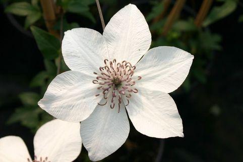 Clematis 'Pistachio' TM Evirida (N) - Clematis florida 'Pistachio' TM Evirida (N)