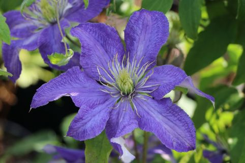 Clematis 'Rhapsody' - Clematis 'Rhapsody'