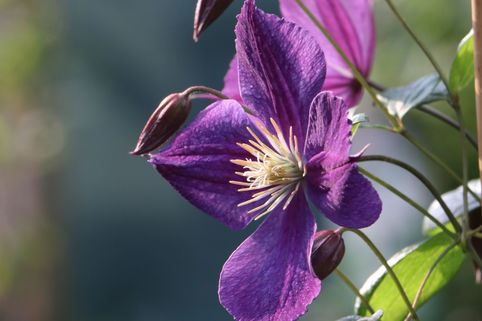 Clematis 'Star of India' - Clematis 'Star of India'