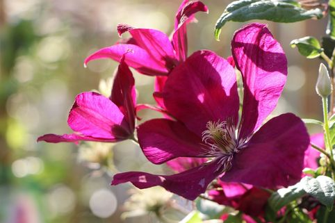 Clematis 'Sunset' - Clematis 'Sunset'