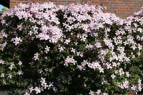 Clematis 'Tetra Rose' - Clematis montana 'Tetra Rose'