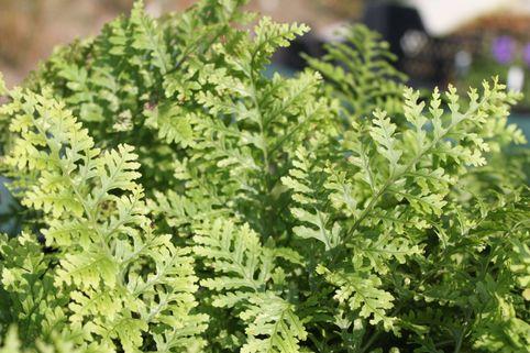 Cornwall Tüpfelfarn 'Cornubiense' - Polypodium interjectum 'Cornubiense'